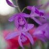 紫蘭(シラン)は蘭、胡蝶蘭と一緒だね