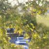 秋の紫陽花。光が綺麗〜
